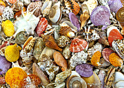 Sea Shell Digital Art Posters - Under the Sea Poster by Carole Gordon