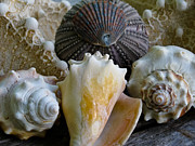 Conch Photos - Under the Sea by Colleen Kammerer
