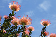 Proteas Prints - Under the Sun Print by Neil Overy