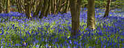 Blue Flowers Posters - Underneath the Trees Poster by Svetlana Sewell