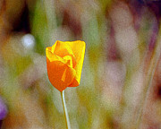 William Havle - Unfolding Poppy