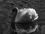 Unfolding Wings  Swan Of Light Print by Pamela Phelps