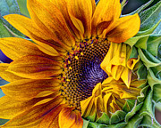 Harvest Art Prints - Unfurling Beauty - Cropped Version Print by Heidi Smith