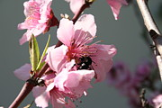 Tracey Harrington-Simpson - Unidentified Winged Insect On Peach Tree Blossom