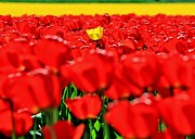 Red Tulips Prints - Uniquely Yellow Print by Benjamin Yeager