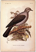 Gray And Black Beak Posters - Unknown, Color Lithographs Poster by Everett