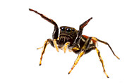 Jumping Spiders Prints - Unknown Jumping Spider Print by JP Lawrence