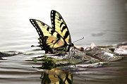Travis Truelove Photography Posters - Unusual Setting for a Butterfly - Water and Swallowtail Poster by Travis Truelove