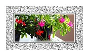 Schlumbergera Posters - Unusual Simultaneous Bloomers 2 Poster by Barbara Griffin