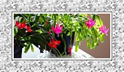 Easter Cactus Art Posters - Unusual Simultaneous Bloomers 3 Poster by Barbara Griffin
