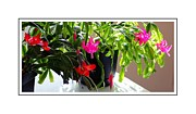 Easter Cactus Art Framed Prints - Unusual Simultaneous Bloomers 6 Framed Print by Barbara Griffin