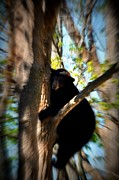 Black Bear Climbing Tree Posters - Up A Tree Poster by Valarie Davis
