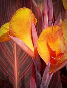 Canna Lilies Photos - Up Close and Personal by Chalet Roome-Rigdon