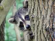 Raccoon Art - Up Close And Personal by Mike Guhl
