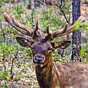 Up Close And Personal With An Elk Print by  Bob and Nadine Johnston