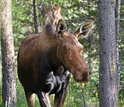 Rocky Mountain National Park Posters Prints - Up Close Cow Moose in RMNP Print by James Futterer