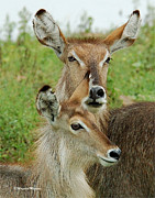 Judith Meintjes - Up Close The Waterbuck...