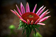 Uplifted Prints - Uplifted Pink Coneflower Print by M Hess