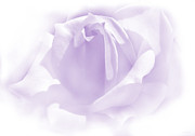 Purple Roses Photo Prints - Upon a Cloud Lavender Rose Flower Print by Jennie Marie Schell