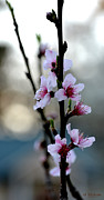 Rderder Photos - Upright Cherry Blossoms by Roy Erickson