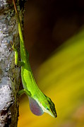 Lizards Posters - Upside-Down Anole Poster by Mary Deal