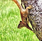 Ion vincent DAnu - Upside down Red Squirrel
