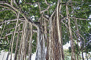 Banyan Art - Upside Down V2 by Douglas Barnard