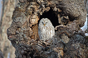 Natural Focal Point Photography - Ural Owl in Japan