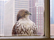 Red Tail Hawk Photo Posters - Urban Red-tailed Hawk Poster by Rona Black