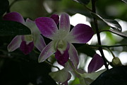 Orchids Posters - US Botanic Garden - 121246 Poster by DC Photographer