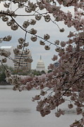 Flowering Prints - US Capitol - Cherry Blossoms - Washington DC - 01133 Print by DC Photographer