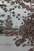 Parks Posters - US Capitol - Cherry Blossoms - Washington DC - 01134 Poster by DC Photographer