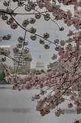Flowering Posters - US Capitol - Cherry Blossoms - Washington DC - 01135 Poster by DC Photographer