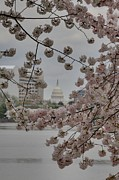 Cherry Posters - US Capitol - Cherry Blossoms - Washington DC - 01137 Poster by DC Photographer