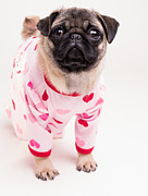 Pajamas Posters - Valentines Day - Adorable Pug Puppy in Pajamas Poster by Edward Fielding