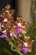 Epiphytic Metal Prints - Vanda Denisoniana Metal Print by Jess Kraft