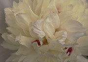 Old Bathroom Print Prints - Vanilla Layers - soft image of a peony Print by Jane Eleanor Nicholas