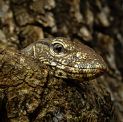 Goanna Photos - Varanus in tree by Inez Wijker Photography