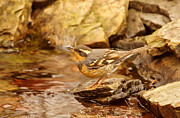 Song Bird Photos - Varied Thrush by Pond by Sandy Keeton