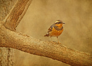 Thrush Framed Prints - Varied Thrush on Branch Framed Print by Sandy Keeton