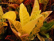 Kay Gilley - Variegated Croton