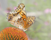 Claudia Posters - Variegated Fritillary on Cone Flower Poster by David and Carol Kelly