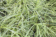 JPLDesigns - Variegated Monkey Grass...