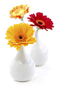 Yellow Flowers Posters - Vases with Gerbera flowers Poster by Elena Elisseeva