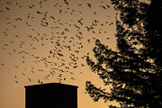 Flocks Of Birds Prints - Vauxs Swifts in migration Print by Garry Gay