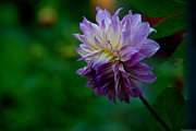 Conservatory Of Flowers Photos - Veca Lucia Dahlia by Glenn Franco Simmons