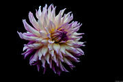Photo Acrylic Prints - Veca Lucia Dahlias  by Glenn Franco Simmons