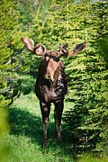 Brandon Smith Framed Prints - Velvet Antlered Wild Moose Framed Print by Brandon Smith
