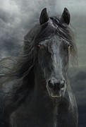 Friesian Art - Veni vidi vici  by Fran J Scott
