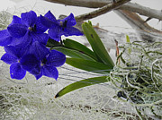Epiphyte Metal Prints - Vera The Vanda Metal Print by Patricia Greer